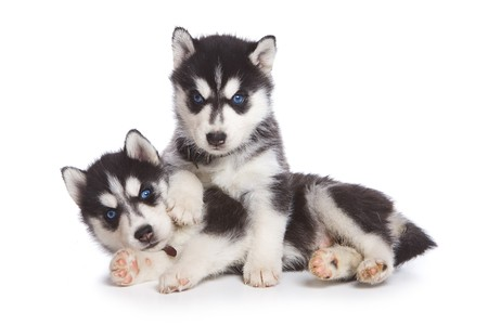 blue eye husky: Siberian Husky puppy on white
