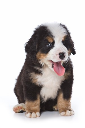 animal tongue: Bernese Mountain puppy on white Stock Photo