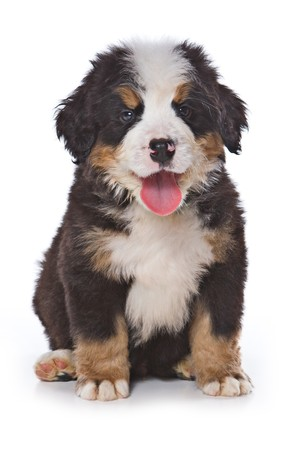 Bernese Mountain puppy on white Standard-Bild