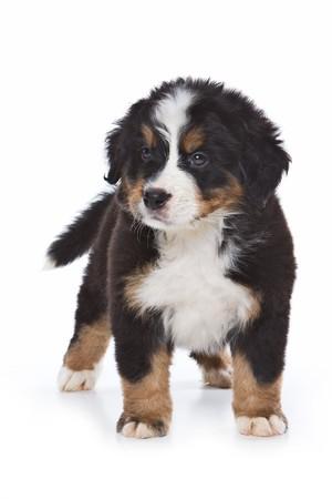 Bernese Mountain puppy on white Stock Photo