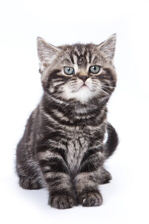 British kitten on white background photo