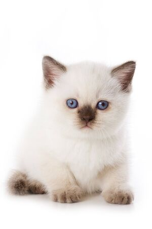 British kitten isolated on white photo