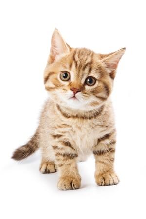 kitten: British kitten on white background