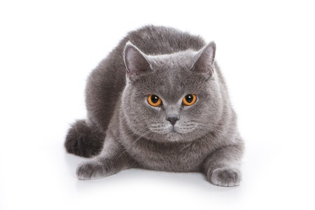 gray cat: British cat on white background