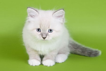 british kitten: British kitten on colour background