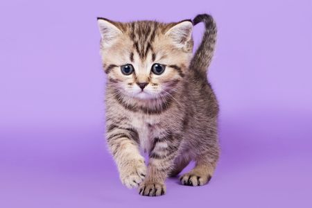 British kitten on colour background