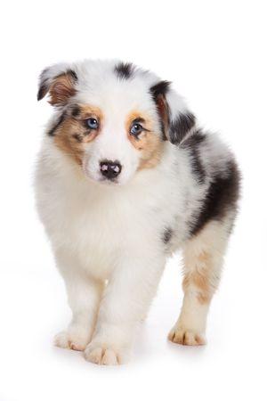 australian shepherd: Australian Shepherd puppy isolated on white