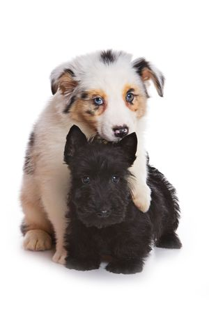australian shepherd: Australian Shepherd puppy and Scottish terrier Stock Photo