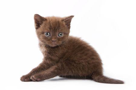 british kitten: British kitten on white background