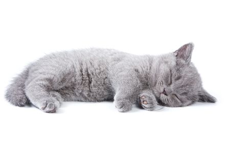 cat sleeping: British kitten on white background