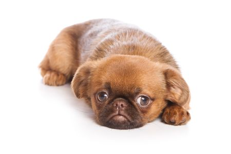 griffon: Griffon puppy isolated on white Stock Photo