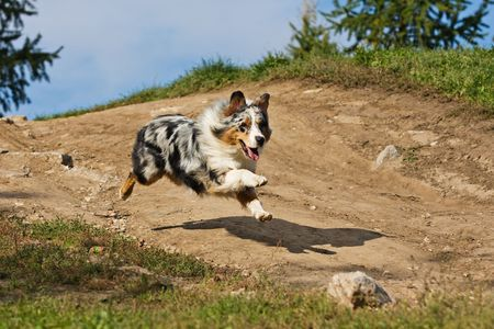 dog running: Australian Shepherd dog in outdoor setting