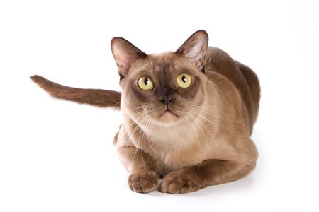 brown pussy: Burmese cat on white background Stock Photo