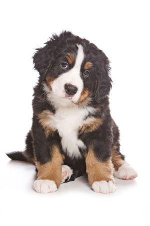 Bernese puppy on white background photo