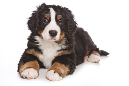 Bernese puppy on white background