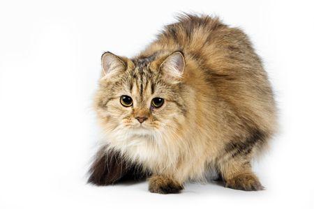 fluffy: mullidas gato