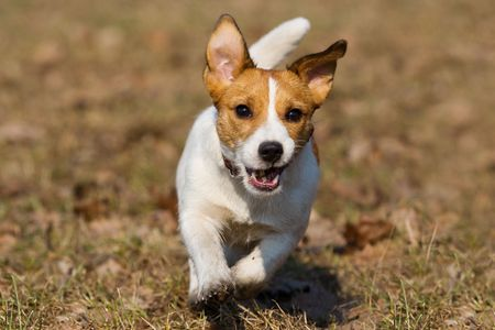 Jack Russell running to camera Stock Photo