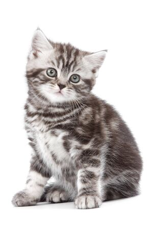 british kitten: British kitten on white backgrounf Stock Photo