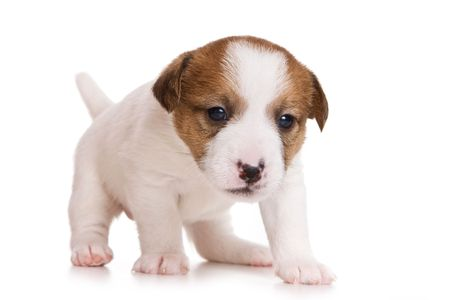 Jack Russell terrier puppy on white photo