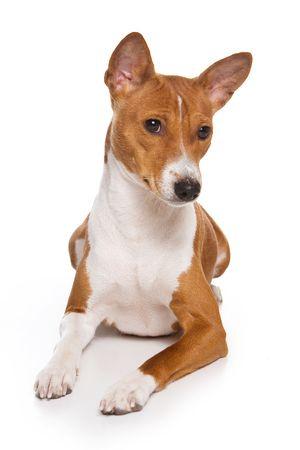 Basenji dog isolated on white Standard-Bild