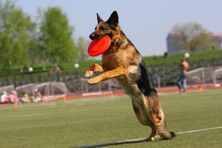 Dog playing in flying disk Stock Photo