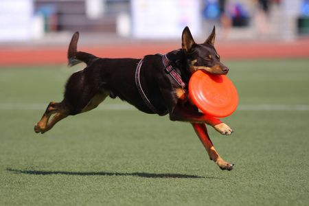 willing: Dog playing in flying disk Stock Photo
