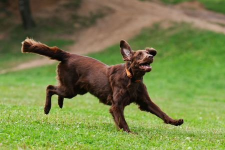 dog running: Dog playing in flying disk Stock Photo