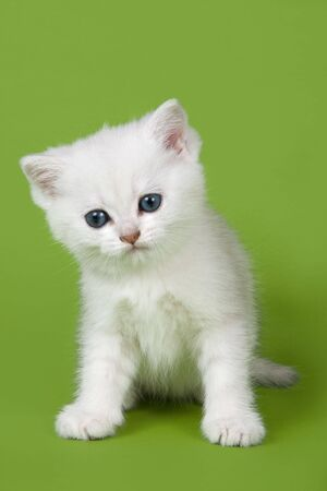 British kitten on green background photo