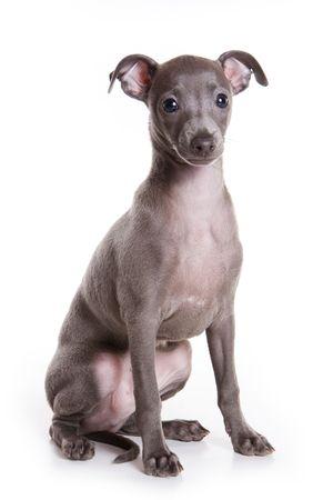 Italian greyhound puppy on white background Stock Photo - 5673154