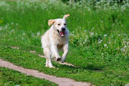 Golden retriever dog in nature photo