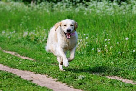 dog running: Golden retriever dog in nature