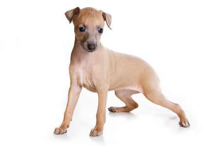 Italian greyhound puppy on white background Stock Photo - 5825192