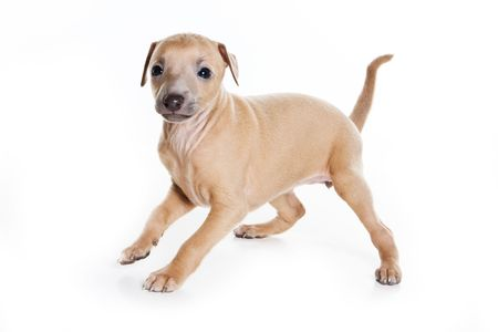 Italian greyhound puppy on white background photo