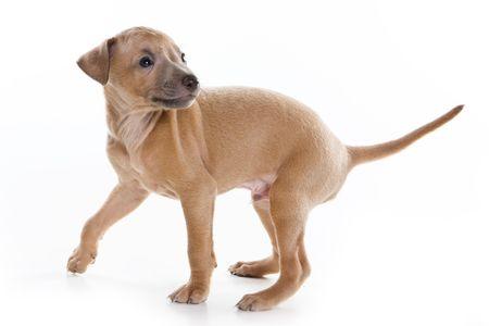 Italian greyhound puppy on white background Stock Photo - 5825196