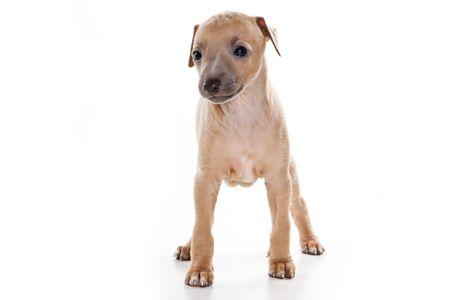Italian greyhound puppy on white background photo