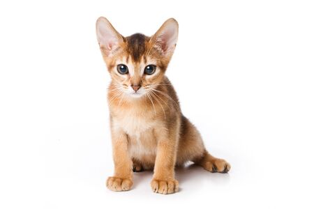 Abyssinian kitten on white background photo