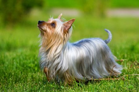 Australian Silky Terrier on grass