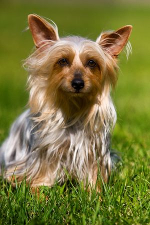 Australian Silky Terrier on grass