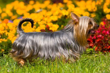 Australian Silky Terrier on grass Stock Photo