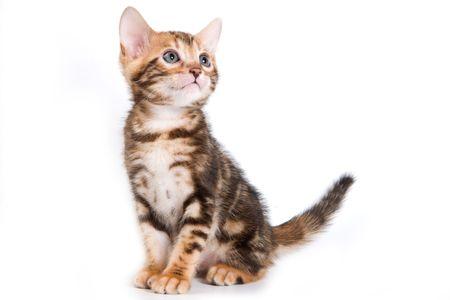 Bengal kitten on white background Standard-Bild