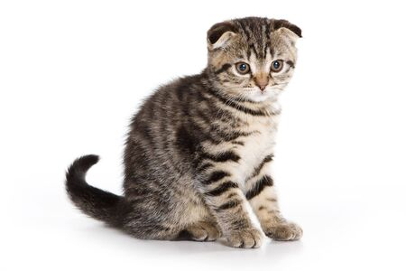 Scottish Fold kitten on white background Stock Photo - 6000487