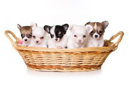Chihuahua puppy isolated on white photo
