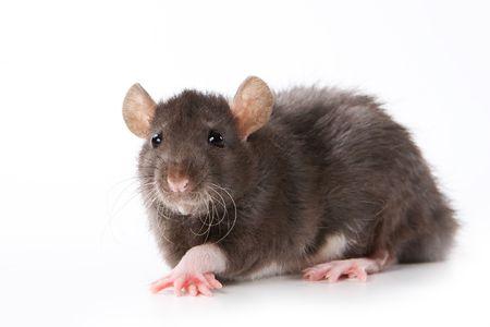 ascendant: Small rat on white background