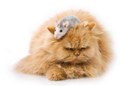Persian cat isolated on white Standard-Bild