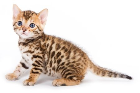 Bengal kitten on white background Stock Photo