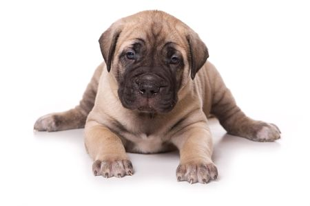 Dogo Canario puppy on white backround Stock Photo - 6660379