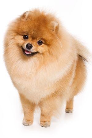 German Spitz dog on white background