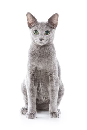 gray cat: Russian blue cat on white background Stock Photo