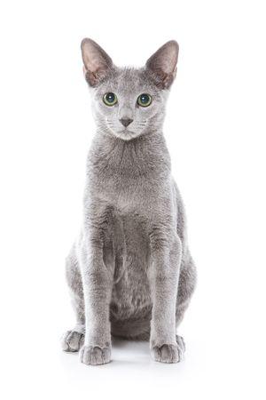 Russische blauw kat op witte achtergrond