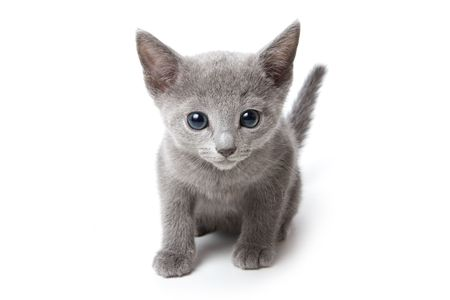 Russian blue kitten on white background Stock Photo